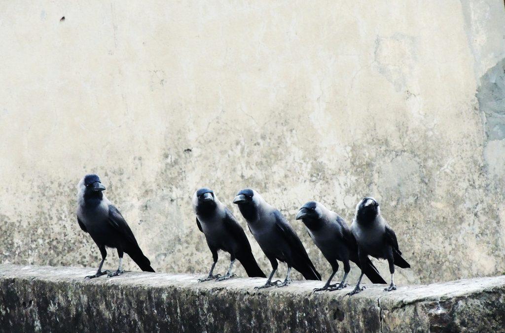 five black crow birds